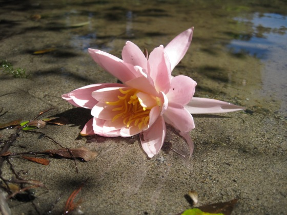 Lotus floating in a lake on Salt Spring Island where my father lived and swam